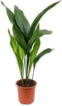 12 piante sicure per i gatti Aspidistra