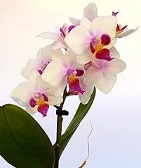 2 piante sicure per i gatti troviamo anche le Orchidee di falena (Orchidee Phalaenopsis)