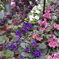Saintpaulia la più colorata tra le 12 piante sicure per i gatti